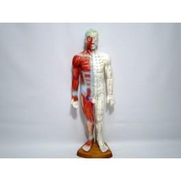 Mulaj studiu acupunctura barbat 55cm (cod S14)