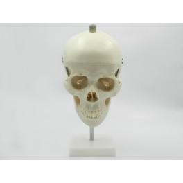 Craniu uman (cod S24)