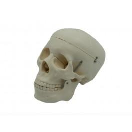 Craniu uman - marime naturala (cod S40)