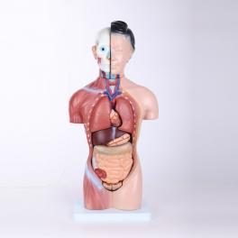 Trunchi uman feminin cu organele interne - 42 cm (cod S32-1)