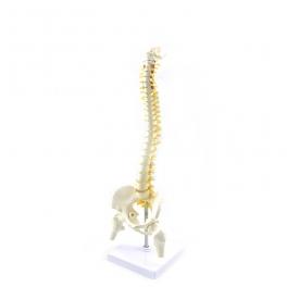 Coloana vertebrala cu pelvis si capete femurale  - marime naturala (cod S23-1)