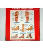 Plansa picior pentru reflexoterapie si acupunctura (cod H3)